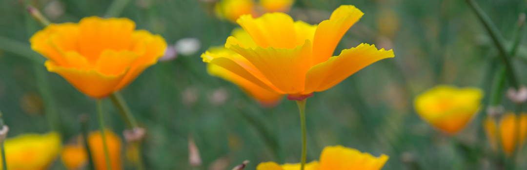 photo of california poppies with the caption uc santa cruz offers new major in environmental studies
